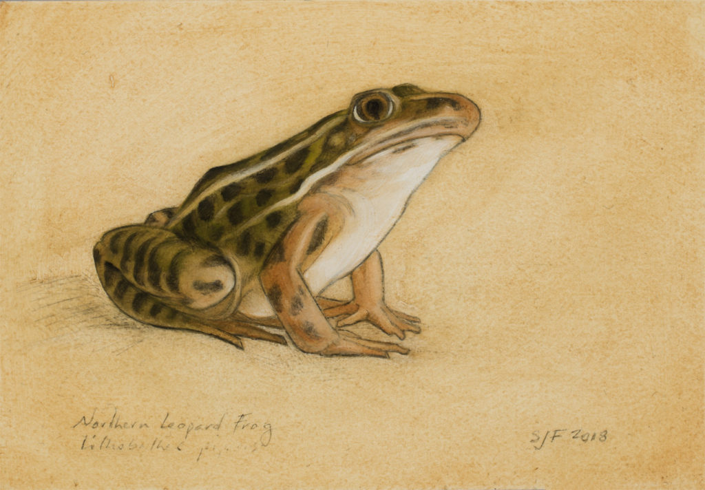 "Northern Leopard Frog, 2018. Graphite & oil on art board, 4x6"". Sold"