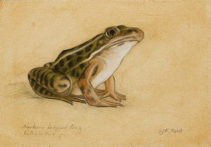 "Northern Leopard Frog, 2018. Graphite & oil on art board, 4x6""."