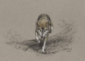 "Grey Wolf, 2018. Graphite & chalk on paper, 5x7""."