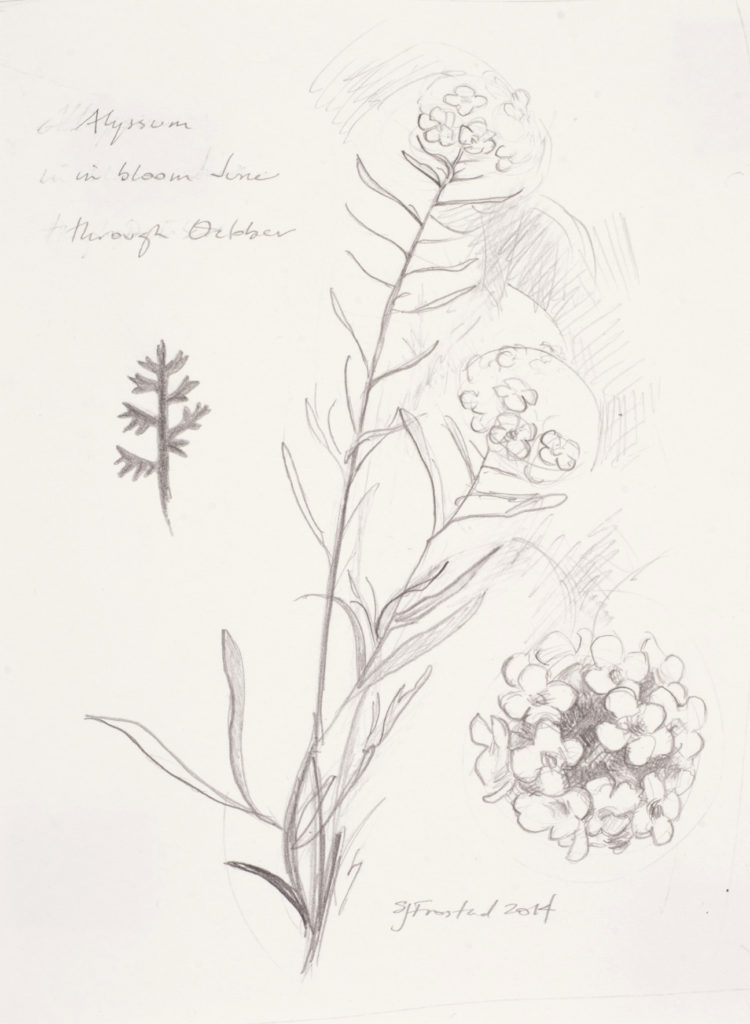 "Alyssum Study, 2014. Graphite on paper, 7x5""."