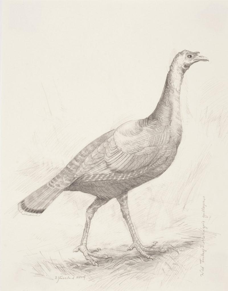 """Wild Turkey I, 2014. Graphite on paper, 10x8"""""""